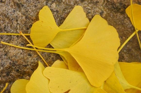 Ginkgo Baum Ginkgo Blatt Form Fächerbaum goldene Farbe