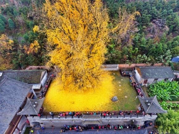 Ginkgo Baum buddhistischer Tempel Hinterhof goldene Ginkgo Blätter