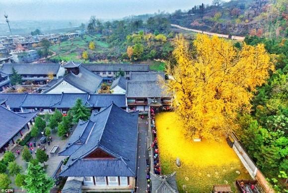 Ginkgo Baum buddhistischer Tempel goldene Ginkgo Blätter