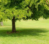 Ginkgobaum: überraschende Fakten über einen der ältesten Bäume der Welt