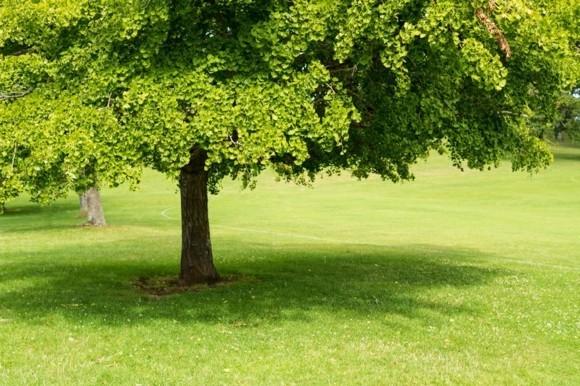 Ginko Biloba Baum Ginkgo Baum Bedeutung und Anwendung