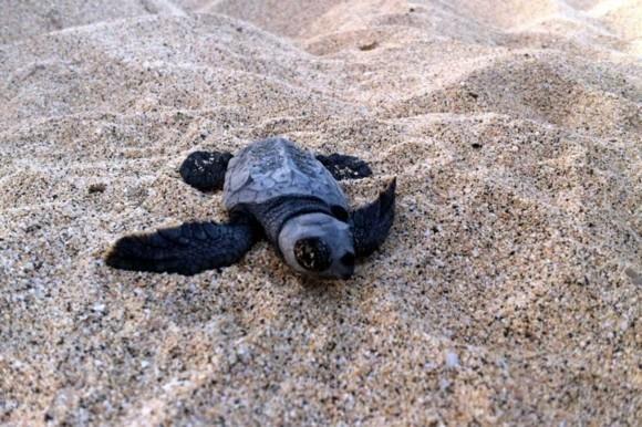 Kapverden Urlaub Kapverdische Inseln Santa Marina Insel Sal Schildkröte