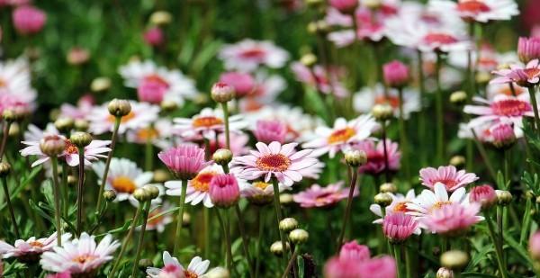 pflanzen in rosa und weiß gartengestaltung
