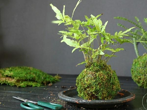 Kokedama selber machen Moos Mooskugeln Zimmerpflanzen pflegeleicht