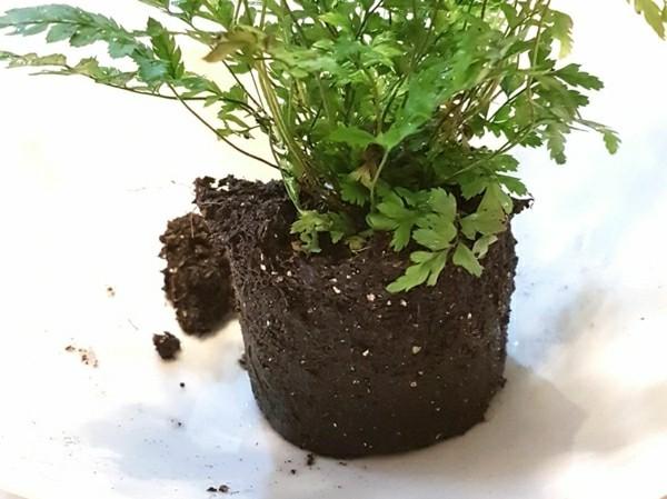 Kokedama selber machen Mooskugel Farn Pflanze