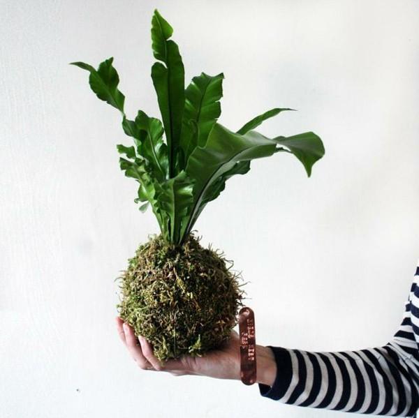 Kokedama selber machen Mooskugel pflegeleichte Zimmerpflanzen