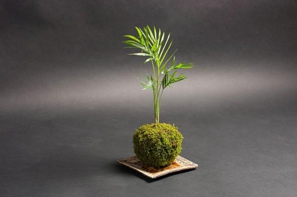 Kokedama selber machen japanische Mooskugel dekorative Zimmerpalme