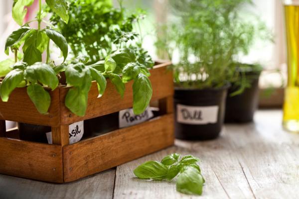 Kräuter zuhause anbauen pflegen Basilikum Petersilie Dill dürfen in der Küche nicht fehlen