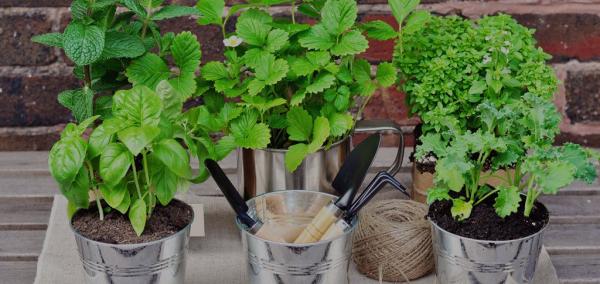 Kräuter zuhause anbauen pflegen in Eimern auf der Terrasse oder Veranda
