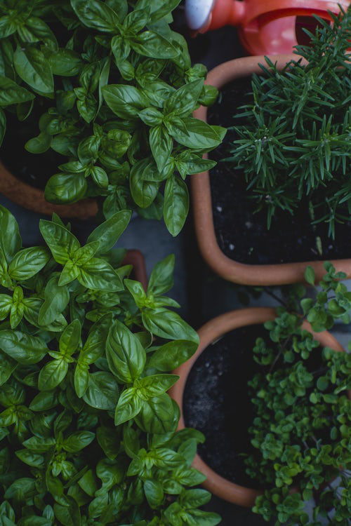 Urban Gardening Basilikum Petersilie Rosmarin und Co. anbauen und pflegen