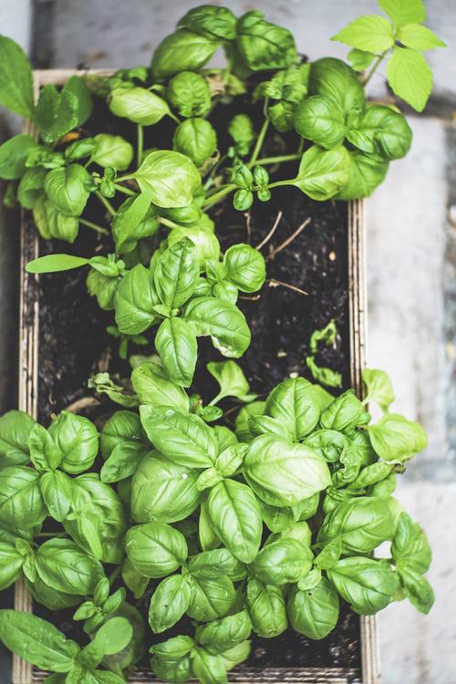 Urban Gardening Kräuter anbauen und griffbereit haben ist von Nutzen