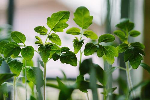 Urban Gardening Kräuter zuhause auf der Fensterbank pflegen