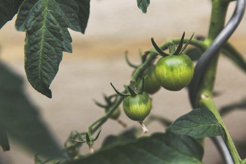 Urban Gardening grüne Tomaten im Garten eigene Gemüseproduktion
