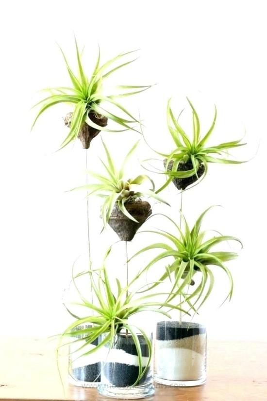 ausgefallene tischdeko mit tillandsien luftpflanzen