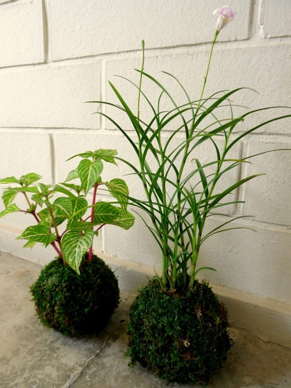 japanische Gartenkunst Bonsai Moosball Kokedama erstellen