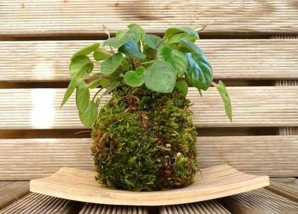 japanische Gartenkunst Bonsai Mooskugel DIY Kokedama Zimmerpflanzen