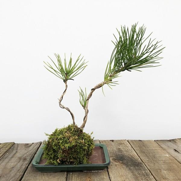 japanische Gartenkunst Bonsai Mooskugel DIY Kokedama