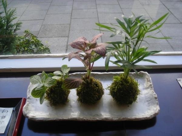 japanische Gartenkunst Bonsai Mooskugeln DIY Kokedama erstellen