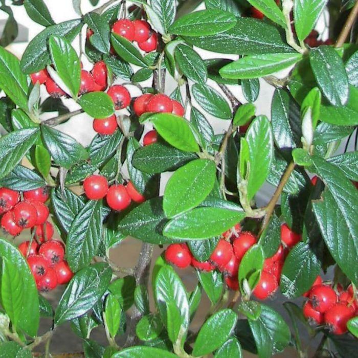 moderne Gartengestaltung mit vielen roten Beeren