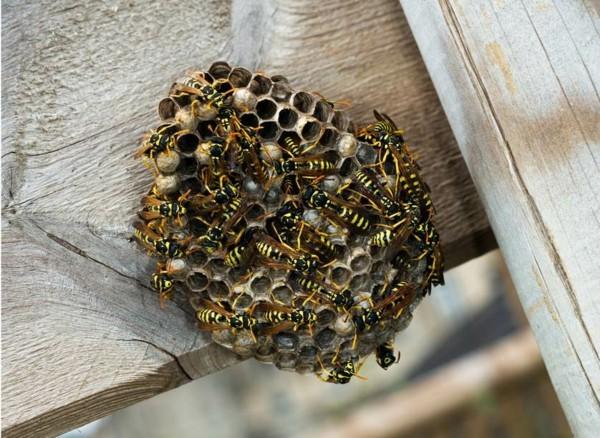 wespennest entfernen kosten