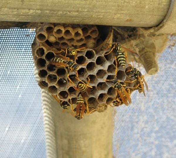 wespennest entfernen richtig handeln