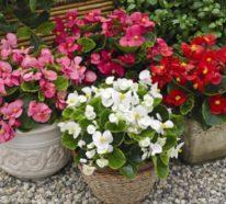 Begonien – Blütenpracht und Blattlaub schmücken Balkon und Garten