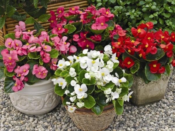 Begonien Topfpflanzen vier verschiedenen Farben schöner Blickfang im Garten