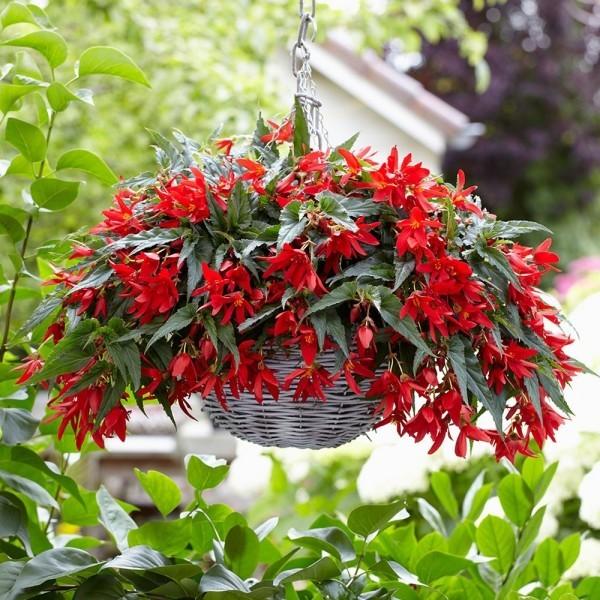 Begonien beliebte Balkonpflanzen auch in Blumenampeln eine gute Figur machen