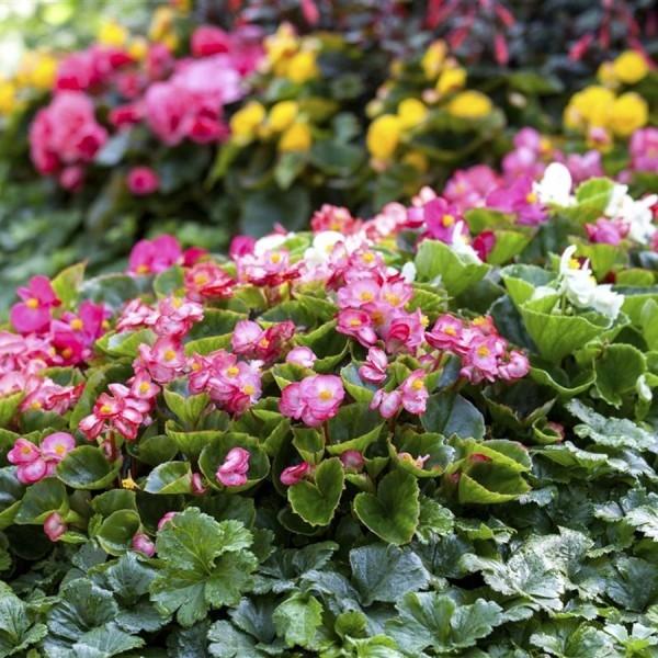 Begonien benötigen einen halbschattigen Standort im Garten nährstoffreichen Boden