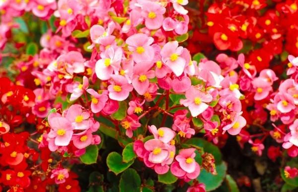 Begonien im Garten Vielfalt an zarten Farben ein Genuss für Augen