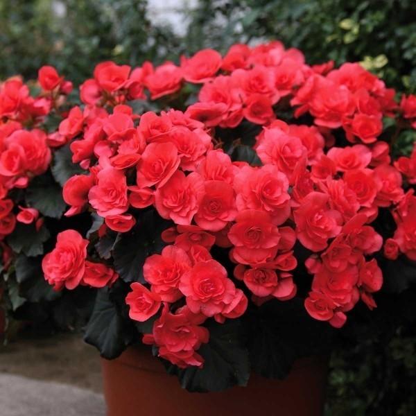 Begonien im Topf im Freien faszinierende Blütenpracht blutrote Blüten