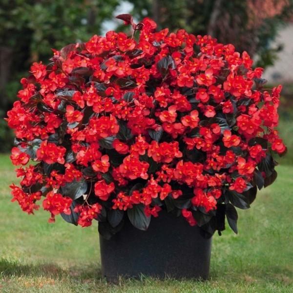 Begonien rote Blüten im Topf Höhe von 45 bis 60 cm