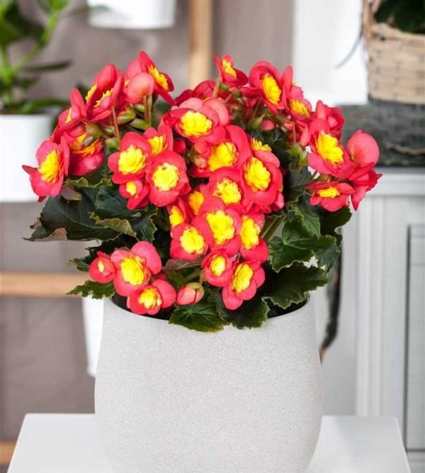 Begonien rote Blüten weißer Topf Vorsicht beim Gießen keine Staunässe