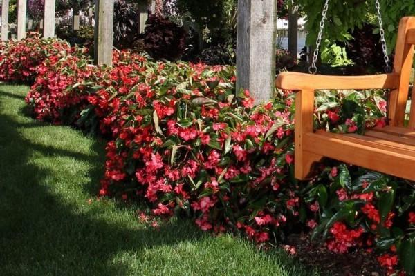 Begonien viele Blüten rot und rosa im Gartenbeet Wohlfühloase