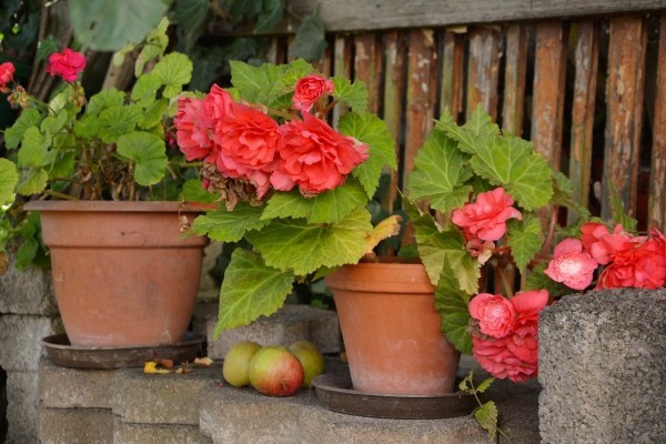Begonien zarte Blüten draußen stehen den ganzen Sommer lang bis zum ersten Frost im Spätherbst