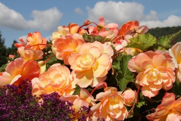 Begonien zartes Orange schöne Blüten fallen draußen auf