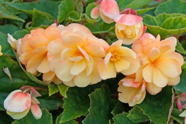 Begonien zartes Orange schöne Blüten