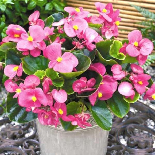 Begonien zartes Rosa der Blüten Genuss für die Augen Pflanze im Eimer pflegen