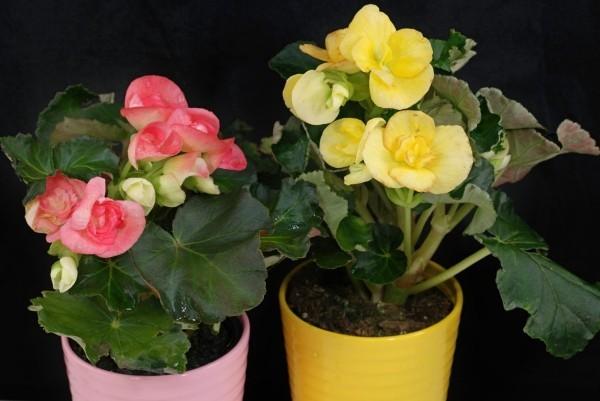 Begonien zwei Topfpflanzen zartes Rosa und Gelb Farben der Blüten ab Mitte Mai ins Freie bringen