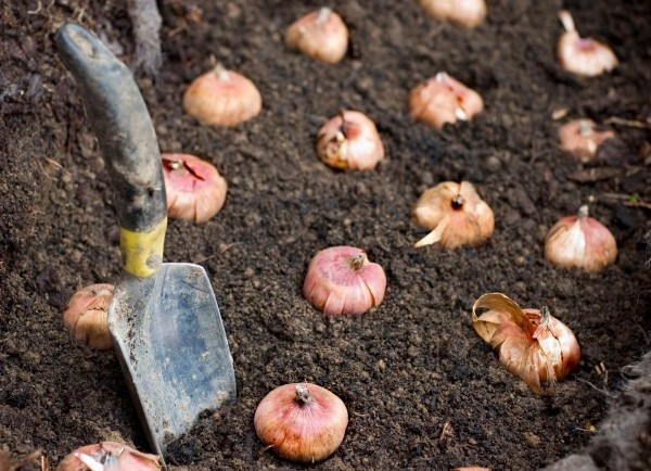 Garten im Herbst Was jetzt zu tun ist zwiebeln von blumen einpflanzen