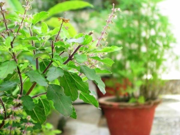 Tulsi Tee Tulsi Pflanze Tulsi Blätter Indisches Basilikum