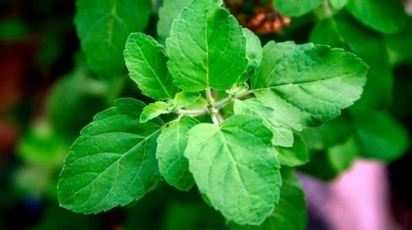 Tulsi Tee Tulsi Pflanze Tulsi Blätter