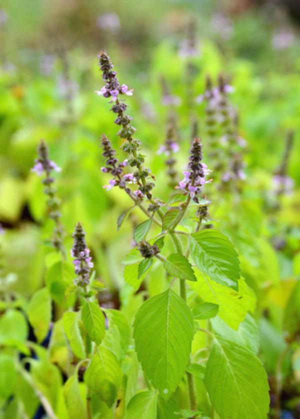 Tulsi Tee Wirkung Tulsi Pflanze Tulsi Blätter Heiliges Basilikum Rama Tulsi