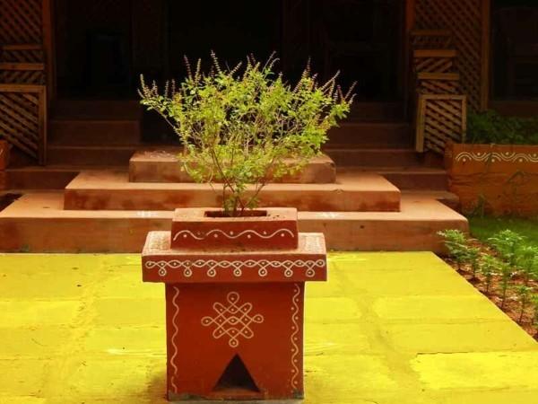 Tulsi Tee Wirkung Tulsi Pflanze Tulsi Blätter Indisches Basilikum