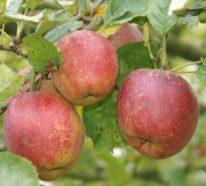 Alte Apfelsorten – gesund und gut verträglich auch für Allergiker