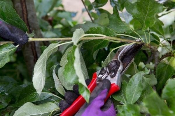 apfelbaum schneiden im sommer