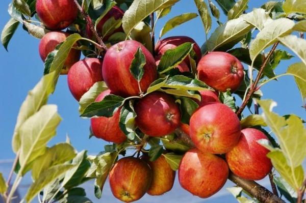 apfelbaum schneiden rote äpfel