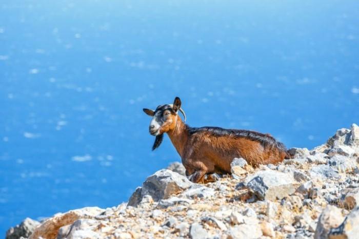 griechische Inseln Kreta Kri Kri Ziege Wanderweg Samaria