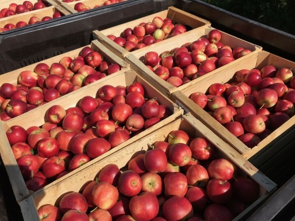 Apfel Äpfel gesund - gesunde Äpfel