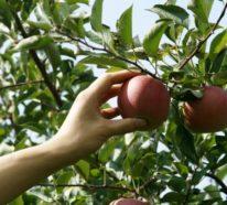 Praktische Tipps, wie Sie Äpfel lagern und auf der besten Art und Weise verwenden